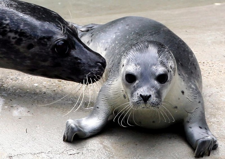 A six day-old and yet unnamed seal cub lies next to its mother Inga in their compound in the zoo of Augsburg, southern Germany. #animals: Augsburg Zoos, Galleries, Cubs Lie, Seals Cubs, Baby Animal, The Zoos, Tigers Cubs, Animal Photos, Baby Seals