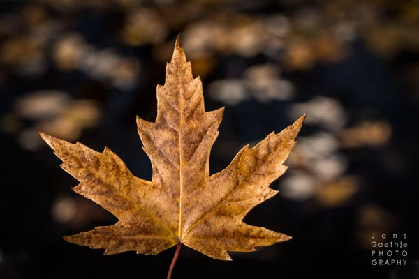 Maple Leaves by the pond in Autumn  #orange #autumn #fineart #photography #Canada