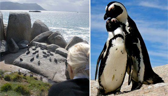 African Penguin Viewing - Cape Town, # SouthAfrica