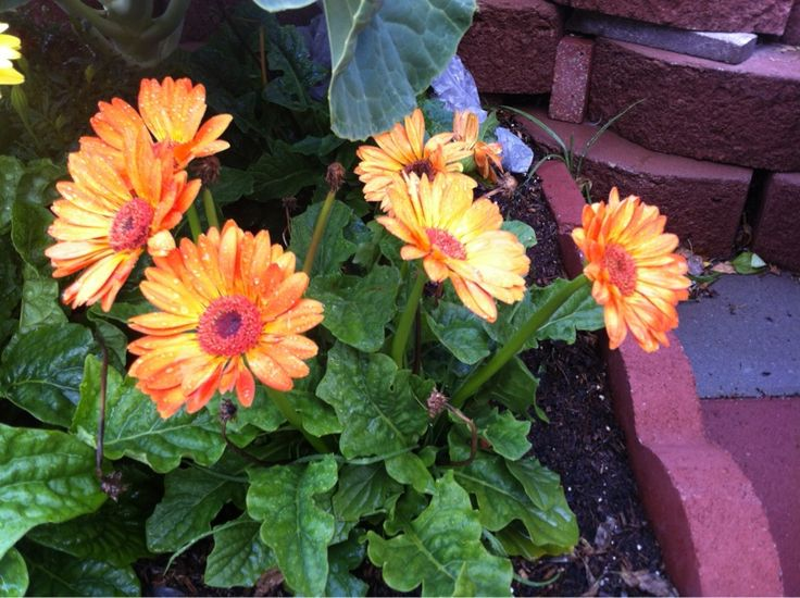 best  gerbera jamesonii ideas on   flower sketches, Beautiful flower