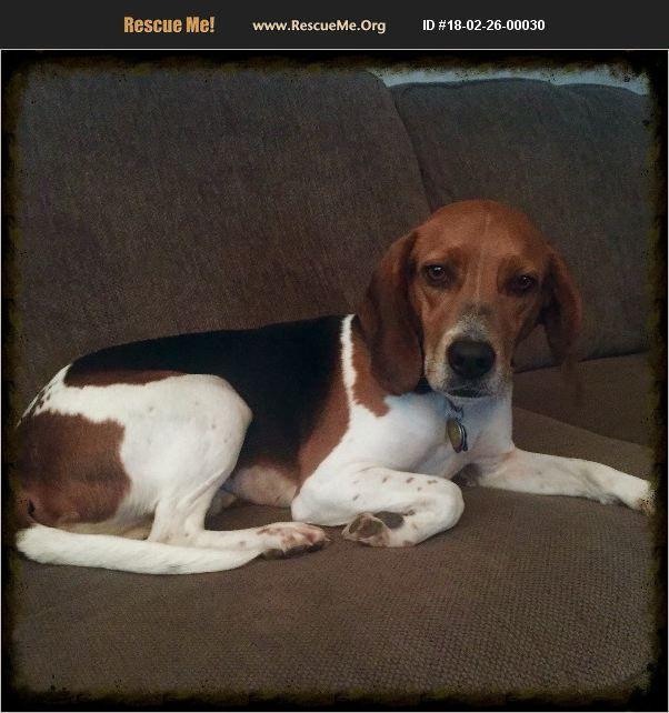 Overland Park Ks Beagle Meet Dottie A Pet For Adoption