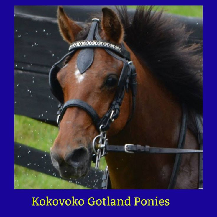 10 best gotlandsruss images on Pinterest Gotland, Ponies and Pony - halter f r k chenrolle