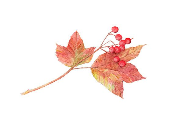 Autumn Leaves and Berries Watercolor Painting - Art Print, Leaves, Fall Nature Study, Viburnum, Red, Green - Watercolour