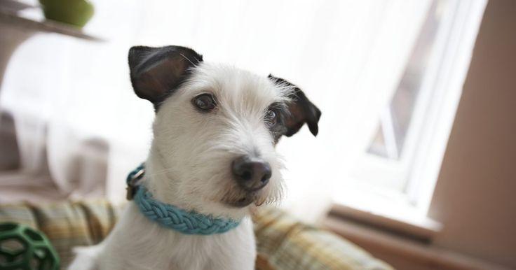 Como reconhecer e tratar cãibras em cães. A cãibra Scotty é uma condição que afeta terriers escoceses. Ela geralmente afeta cães com idade inferior a um ano. Um proprietário pode ficar alarmado quando seu cão sentir dor em suas pernas durante o exercício. Como o problema pode causar um desconforto sério, é importante procurar tratamento. Veja como reconhecer e tratar o quadro.