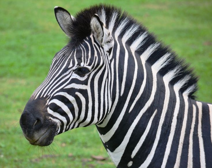 Plains Zebra | Zebras, National geographic and Facts