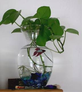 Betta fish in plant roots google search preschool for Fish bowl with plant on top