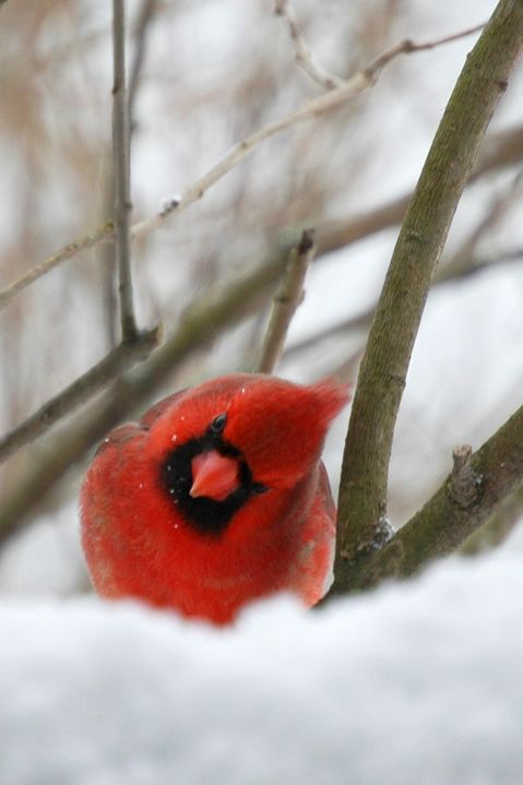 An curious red cardinal bird in the snow on a winter day. photo by hlkljgk