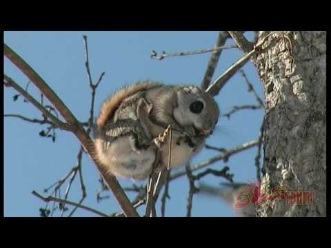 Siberian Flying Squirrel.  So cute it actually hurts...