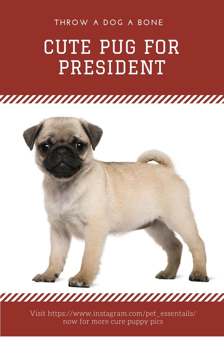 Pug For President Got My Vote 10 Out Of 10 Times Pets Cute