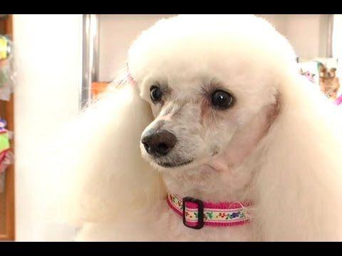 ¿Cómo se diagnostica el mastocitoma canino? - TvAgro por Juan Gonzalo Angel