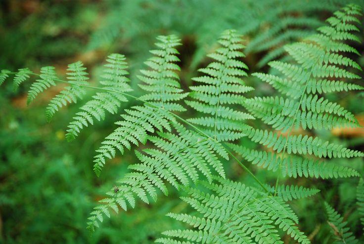 IL SIGNIFICATO DEI #FIORI #FELCE  E' una pianta antichissima che già esisteva sulla Terra 350 milioni di anni fa. Simboleggia il mistero.