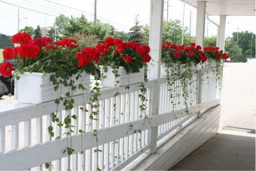 I love geraniums...and I love red and white! My mother used to say every room needs a little red in it. I agree!