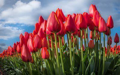 Scarica sfondi tulipani rossi, campo di tulipani, fiori rossi, tulipani, rose giardino del paradiso