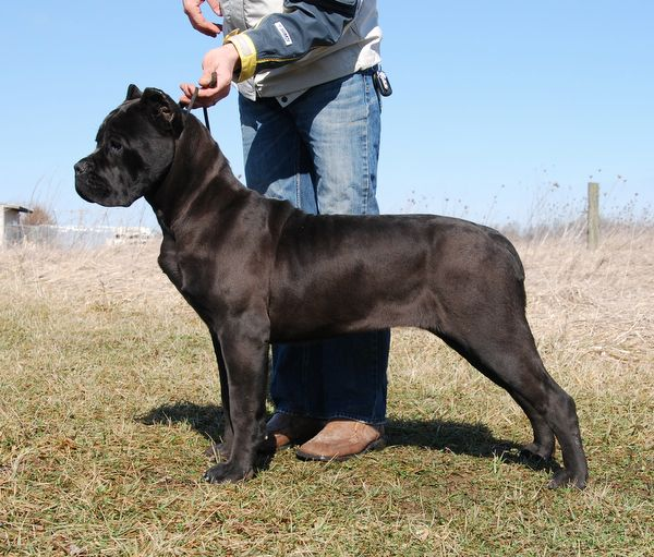 Solid Black Cane Corso where to start looking Pinterest