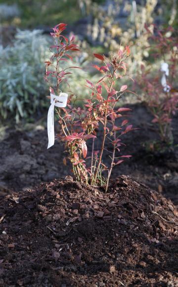 Heidelbeeren sind beliebte Sträucher für den Obstgarten, stellen aber spezielle Ansprüche an Boden und Standort. Die Pflanzen zählen wie die Rhododendren zu den Heidekrautgewächsen und brauchen einen humusreichen, kalkfreien und gleichmäßig feuchten Boden.