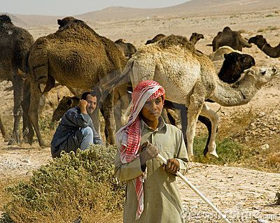 Bedouin camel train, Syria  Palmyra Syria: Bedouin nomads drive their camels in search of sparse vegetation, during the Syrian drought