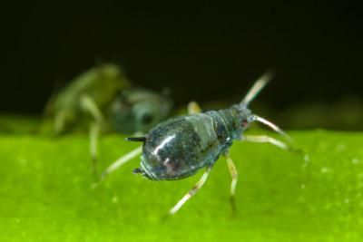 UK research shows biological control success against cowpea aphids may depend on its bacteria   UK College of Agriculture News
