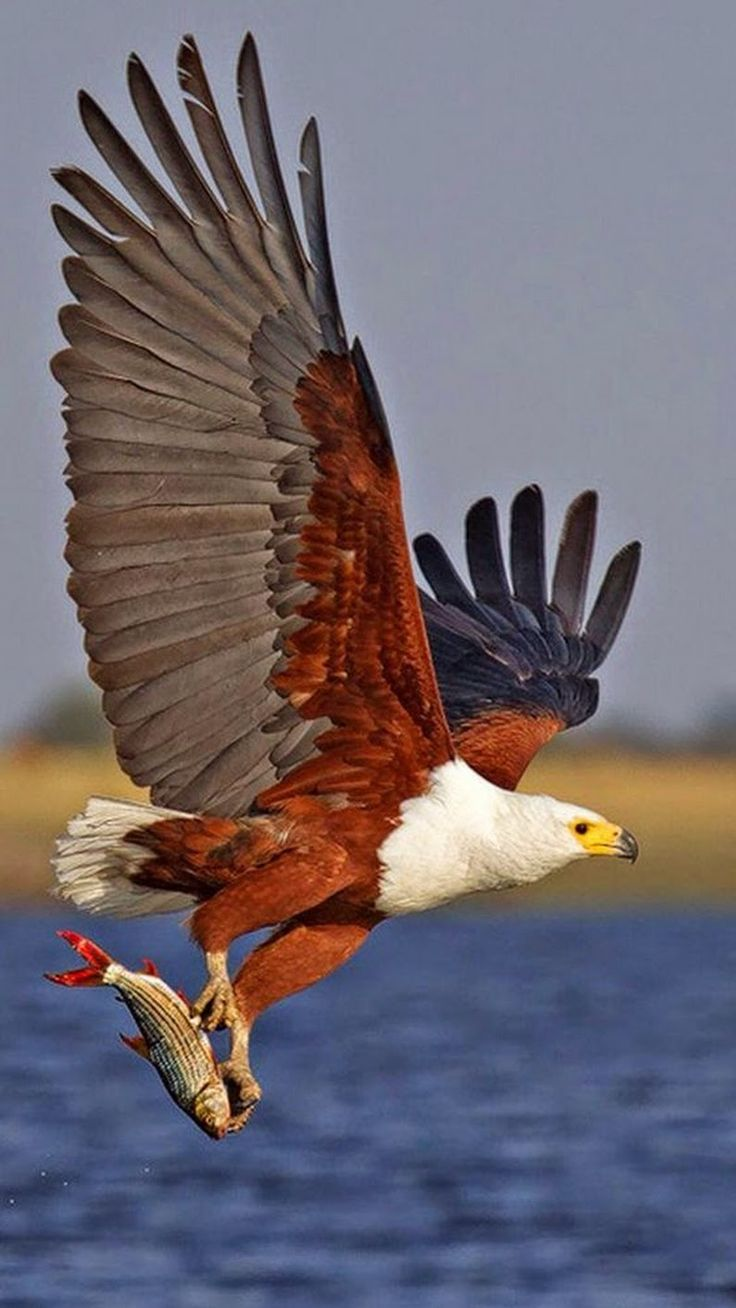 Bald Eagle with his dinner