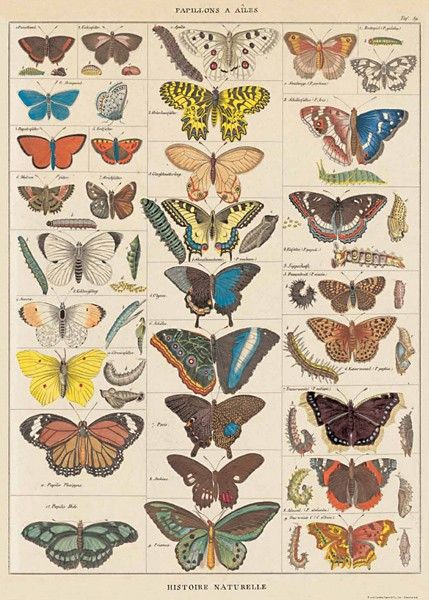 butterflies natural history poster by cavallini & co