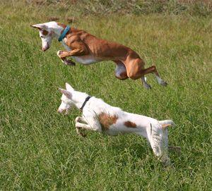 Ibizan Hound breed