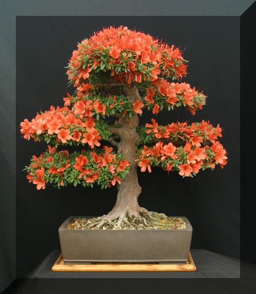 Satsuki Azalea, Kinsai.  Probably the most photographed Bonsai on our show stand last year.  Bonsai Trees Southampton, U.K based Bonsai Nursery