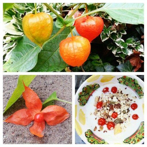 MÜESLI MET JODENKERS Erg vitamenrijk zijn de volledig rijpe bessen van de echte lampionplant. Je kunt ze vers eten, zoals op de foto: yoghurt met müesli en jodenkersen. Of verwerken in chutneys, fruitsalades, vruchtensap en marmelade. Je kunt ze ook als garnering gebruiken. Let wel op bij het plukken van de bessen dat de bessen niet in aanraking komen met de lampion (de buitenkant). Dat geeft een bittere smaak aan de bes.