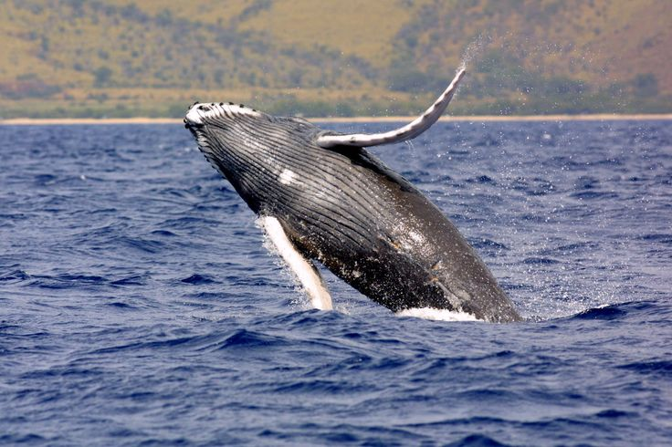 The first humpback whale of the season was spotted off Ni'ihau as National Oceanic and Atmospheric Administration ship Hu'ialakai traveled back to the main Hawaiian Islands after being in the Papahānaumokuākea Marine National Monument in the Northwestern Hawaiian Islands.