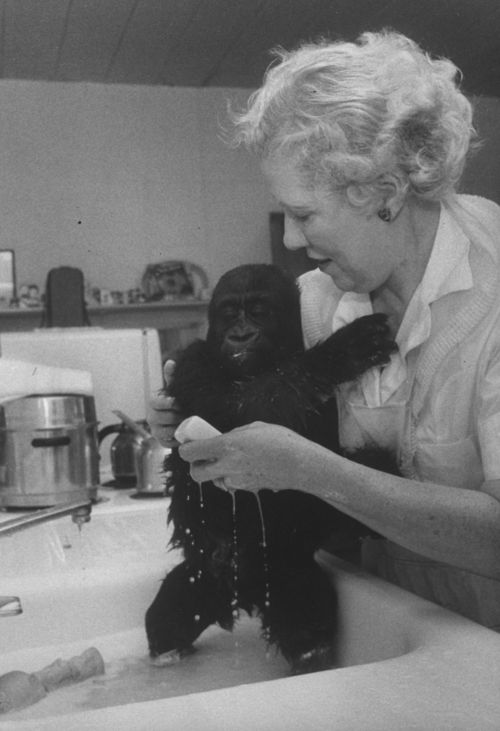 Colo, the first gorilla born in captivity (born December 22, 1956), gets a bath by a caretaker at the Columbus Zoo in Ohio.