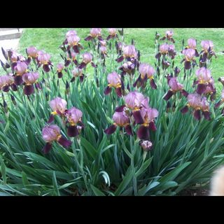 IRIS BULBS for sale on Listia.com.  Use points to purchase bulbs and seeds!
