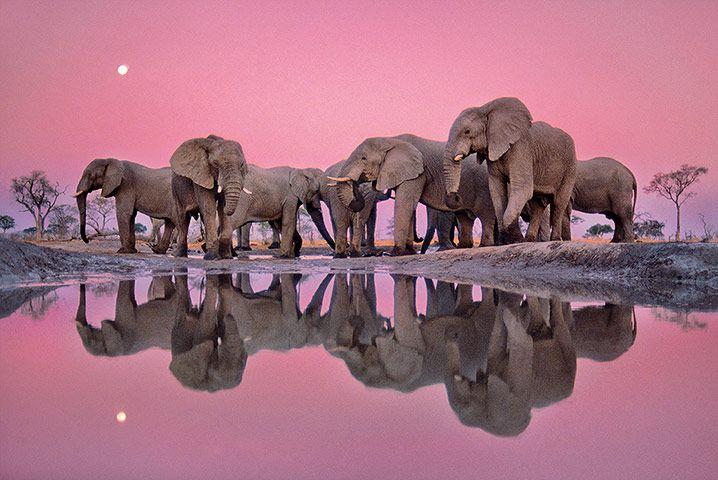 Frans Lanting/The Masters of Nature Photography (African elephants at twilight, Okavango Delta, Chobe national park, Botswana, 1988)