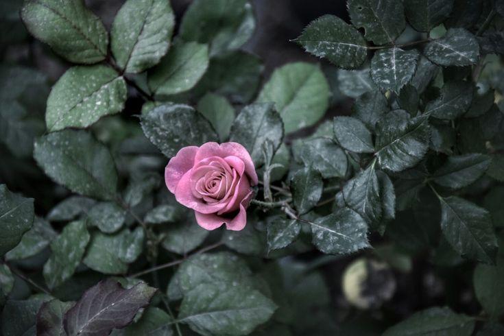 #gül #rose #pink #pembe
