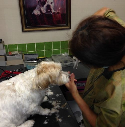 Getting a haircut from the lovely Yuri.  Tallebudgera Veterinary Clinic offer a great range of affordable grooming options including the hydrobath.  Check them all out here - http://www.tallebudgeravet.com.au/pet-grooming