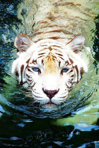 ❥ beautiful white tiger