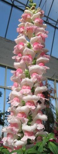 Gorgeous Flowers Garden & Love — Snapdragon, Antirrhi Flowers Garden Love