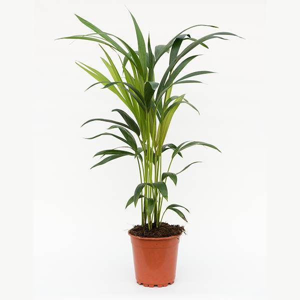 Buy kentia palm Howea forsteriana: Delivery by Crocus