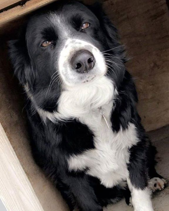 Lost Dog Cannon Falls Australian Cattle Dog Border Collie Mix Female Date Lost 07 08 2019 Dog S Nam Losing A Dog Australian Cattle Dog Border Collie Dogs