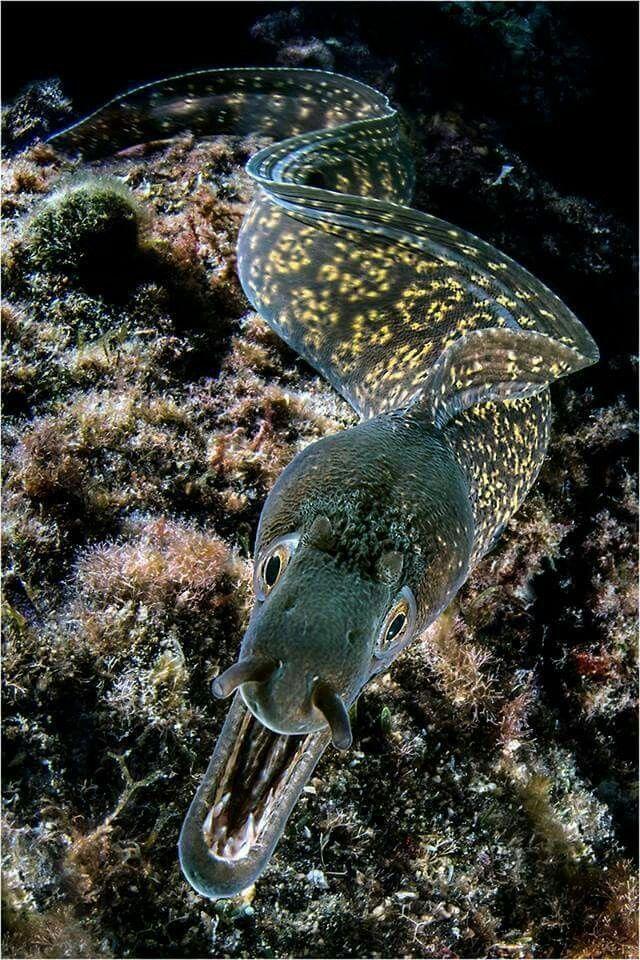 Mediterranean Moray Eel (Muraena helena) - Puolo,Sorrento, Gulf of Napoli  Photo Credit ~ Mimmo Roscigno