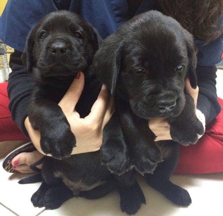Popular Labrador Retriever Black Adorable Dog - a4fe4d61ccff5b94a836e45f5c1ce00c--black-lab-puppies-mignon  Pic_33913  .jpg