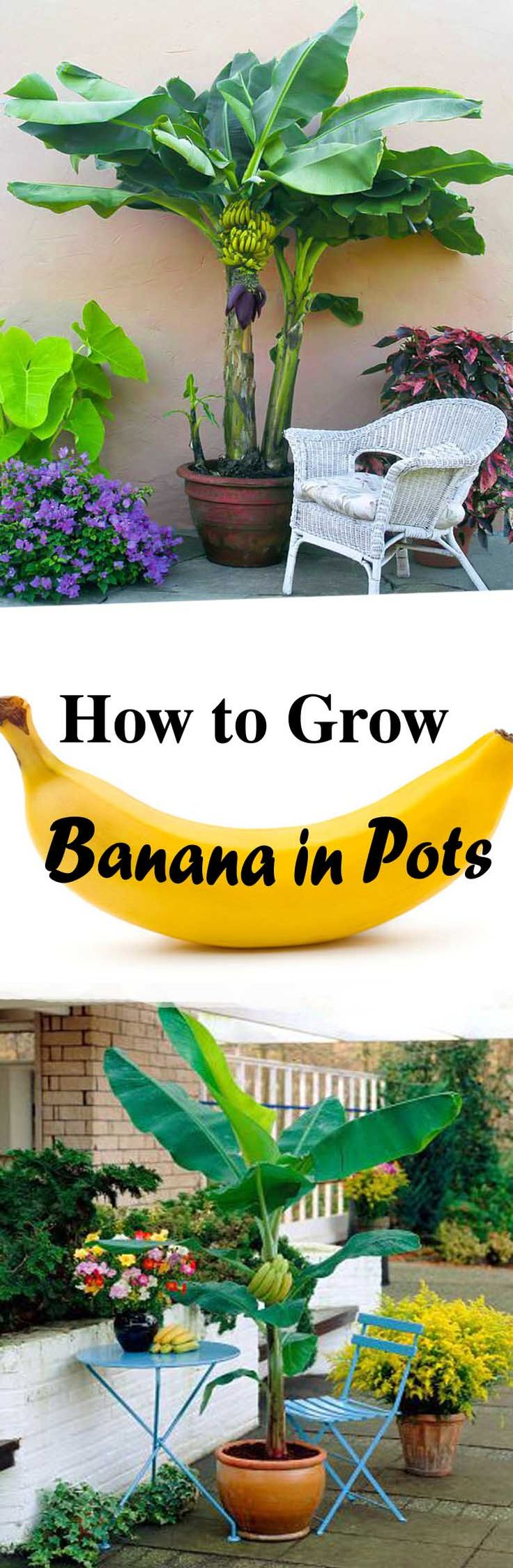 Growing bananas in pots