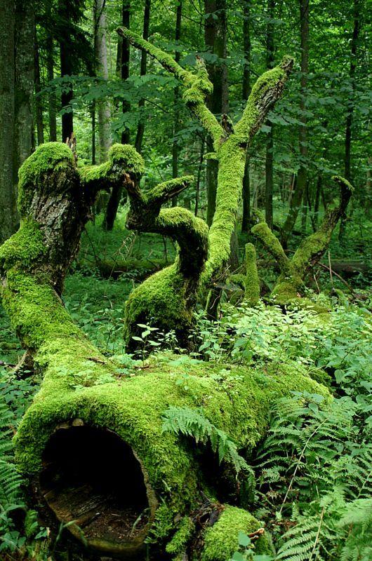 Bialowieza National Park in Poland on Belarus border. @Gail Regan  Fanfic illus : le piège à mangemort