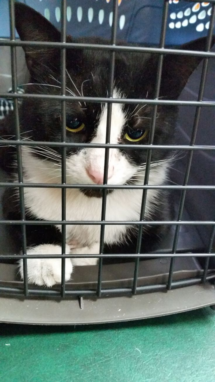 Meet our newest Riverfront Cat, Domino who sadly was dumped in the area. He's about to get neutered. But we desperately need a foster! If you live in South Florida please contact us at riverfrontcats at yahoo We will do all the marketing to get him adopted! Teamwork makes the difference