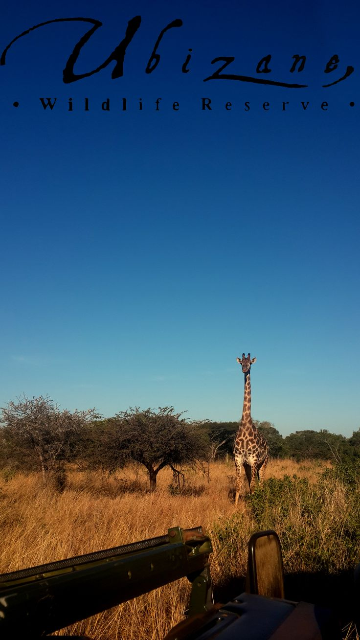 A beautiful giraffe we spotted on our Ubizane game drive