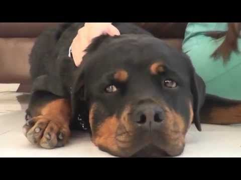 rottweiler 4 meses ( Desarrollo de un rottweiler de 1 a 4 meses ) - YouTube