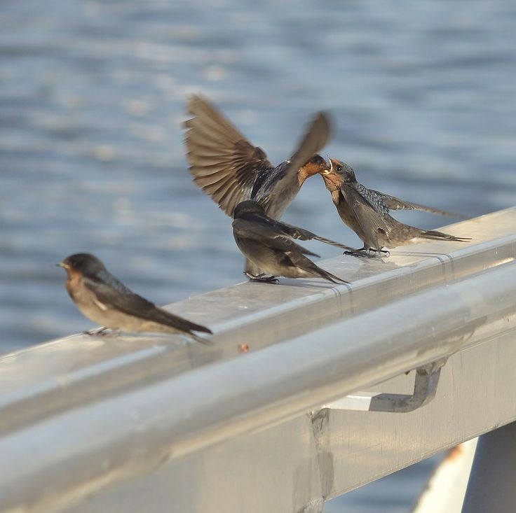 Welcome Swallow Feeding Young by Tomislav Vucic on 500px   #birds Swallow #bird #feeding #flying #flight #hovering #WelcomeSwallow #babies #nature #wildlife #hovering