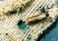 clothes moth larva and pupa