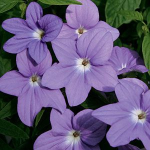 Colorful plants for shade gardens | Amethyst flower (Browallia hybrids) | Sunset.com