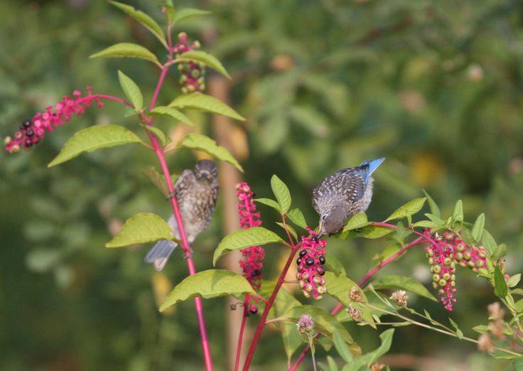 Flower Garden Ideas Illinois 73 best garden ideas for illinois wild ones images on pinterest