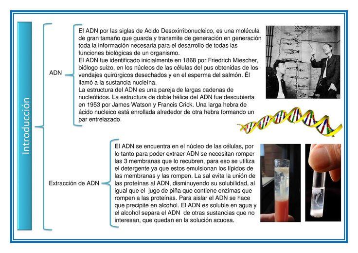 5. Introducción: Aqui se habla a grandes rasgos del ADN y de su extracción, para que el lector pueda orientarse o darse una idea sobre lo que se hablará en todo el reporte. De Hilario Ángeles Willy