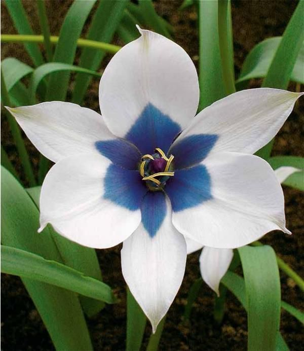 les 40 meilleures images du tableau magnifiques tulipes sur pinterest achat meilleur prix et. Black Bedroom Furniture Sets. Home Design Ideas