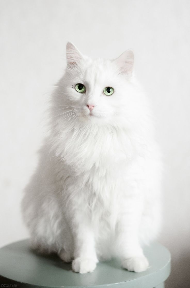 Norwegian Forest Cat by Zolfyer.deviantart.com on @deviantART